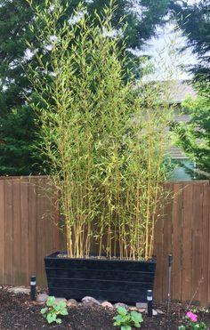 Bamboo Planters Bamboo Planter, Cedar Planters, Growing Bamboo, Backyard, Patio, Design Concepts, Entrance, Garden Ideas, Gardening