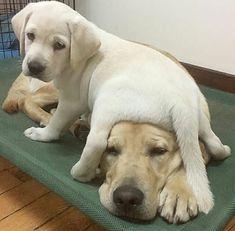 Labrador Puppies |  Labrador Love  | Puppy Pictures | Puppy Life | Puppy Retriever Too precious! ❤