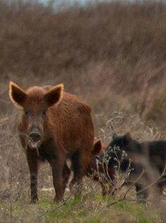 Hog hunting landowner program