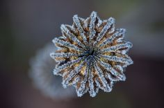 Frozen by Kevin Dierckens on Dandelion, Frozen, Flowers, Plants, Photography, Dandelions, Photography Business, Flora, Photoshoot