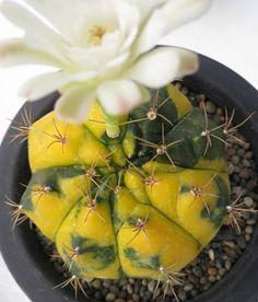 Gymnocalycium flowering