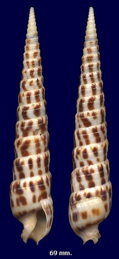 Terebra robusta Hinds, 1844, height= 69 mm, Venudo Island, Pacific Panama
