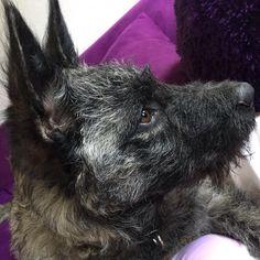 #Duke #Hollandse #Herder #dogs #dog #cute #welpe #3month #der_dukie #Welpenschule #dog_obedience_school #Hundeschule #herdershond #holländischerschäferhund #faehrtendreieck #dogsofinstagramsg #dogsofinstagram