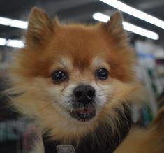 Pomeranian dog for Adoption in Seattle, WA. ADN-765764 on PuppyFinder.com Gender: Male. Age: Adult