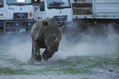 Un puente aéreo para salvar a cien rinocerontes a la desesperada | Ciencia | EL PAÍS
