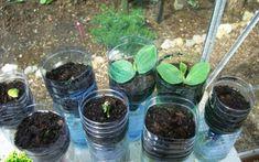 Ako pestovať uhorky v plastových fľašiach bez záhrady Vegetable Garden, Gardening Tips, Flora, Ale, Fruit, Vegetables, Green, Gardening, Straws