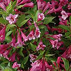 Find Minuet Weigela (Weigela florida 'Minuet') in Minneapolis St Paul Twin Cities Metro Eden Prairie Minnesota MN at Bachman's Landscaping Eden Prairie Minnesota, Woodbury Minnesota, Minneapolis St Paul, Flowering Shrubs, Landscape Design, Planting Flowers, Landscaping, Florida, Plants
