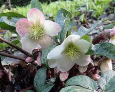 Helleborus-Christrose in meinem Garten. Photo by Maria Inhoven Spring Greetings for my Pin Friends.