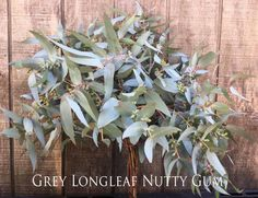 We call this grey longleaf nutty gum . Available March Behind The Scenes, March, Australia, Seasons, Grey, Flowers, Plants, Silver, Wedding