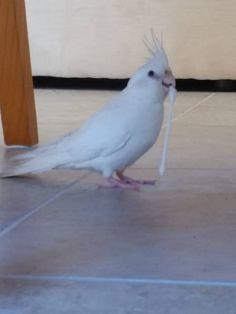 LOST COCKATIEL: 18/12/2017 - Heathridge, Western Australia, WA, Australia. Ref#: L39037 - #ParrotAlert #LostPet #LostBird #LostParrot #MissingBird #MissingParrot #LostCockatiel #MissingCockatiel
