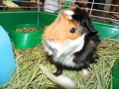 Lenny Lenny.   Cutest Guinea Pig ever~