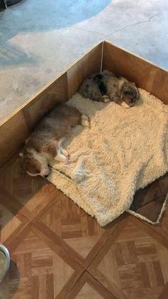 Corgi/Aussie pupps tired after a long day of playing. Corgi Husky, Corgi Puppies, Cardigan Welsh Corgi, Corgis, Ocd, Puppy Love, Tired, Dog Lovers, Labrador
