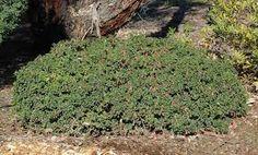 Google Image Result for http://www.anbg.gov.au/gnp/interns-2007/correa-dusky-bells-plant-mf-700.jpg