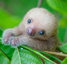 awww - baby sloth! <3