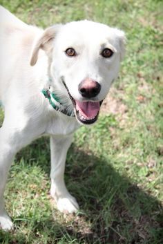 Lumi - URGENT - City of Corsicana Animal Shelter, Corsicana, Texas - ADOPT OR FOSTER - 1 year old Female Lab Retriever