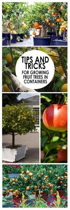 Fruit trees, how to grow fruit, fruit growing tricks, gardening, indoor gardening, popular pins, container gardening.