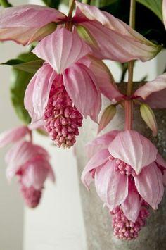 - House Plants - J'adore les plantes qui fleurissent, encore plus que les fleurs en elles-même. I love plants that bloom, even more than the flowers themselves. Unusual Flowers, Rare Flowers, Amazing Flowers, Pink Flowers, Beautiful Flowers, Flowers Pics, Lilies Flowers, Pink Poppies, Yellow Roses