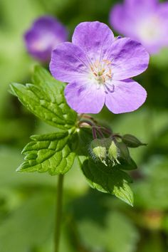 Wild geranium Hardy to -42`F (2b to 9a) Water: Medium to dry soil; sand to clay-loam Partial sun to shade 1-3` tall x1-2` wide Versatile native plant; thrives in woodland openings and deep shade; Long-lasting blooms and red foliage color in the fall.