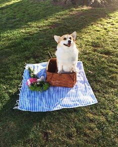 Sneakers the Corgi — Happy #NationalPicnicDay! Don't forget to take a... #funnycorgi