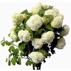Pretty White Viburnum Snowball White Flowers 80 stems for $199.99.