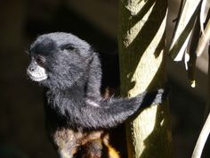 cheeky monkey Santuario Huistin