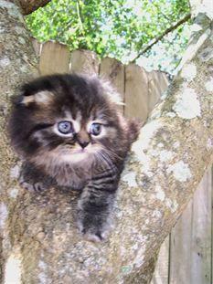 Won By One - Scottish Fold Kittens