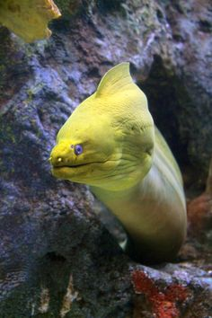 The green moray eel is a blue/grey fish with a yellow mucous coating making it look green