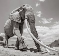"""Wildlife Photographer Captures the Last Photos of the """"Queen of Elephants"""" - Incredible Final Portraits of a 60 Year Old African Elephant in Kenya Wild Life, Elephant Pictures, Elephants Photos, Elephant Images, Baby Elephants, Elephant Afrique, Photo Vintage, Wildlife Conservation, African Elephant"""