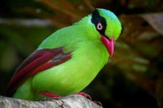 short-tailed green magpie