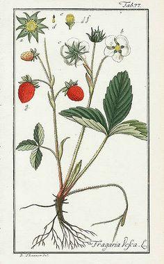 Johannes Zorn, Fragaria Vesca, Strawberry, 1799