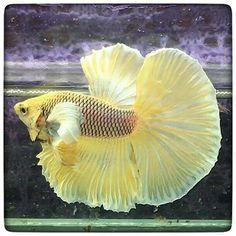 AquaBid.com - DUMBO YELLOW PINEAPPLE 065