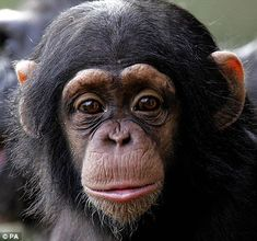 I love chimpanzees!  Ever since I took a primatology class in college I have been fascinated with them.
