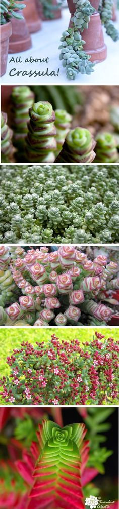 All about growing succulent Crassula!