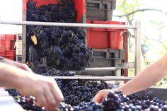 Faire du bon vin, c'est un travail de petites mains ! / Making good wine is a little hands' job!. Photo Marion Barral.
