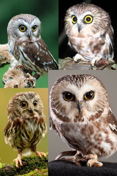 Saw Whet Owl Owl Cat, Owl Bird, Birds 2, Pet Birds, Saw Whet Owl, Owl Pictures, Animal Portraits, Beautiful Birds, Eagles