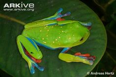Endangered Species of the Week: Blue-sided tree frog