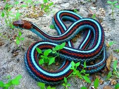 A California Red-sided Garter Snake with a color mutation that gives it neon blue stripes.