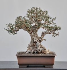 BONSAI Olea sylvestris 12/2013 More in our gallery: http://www.animabonsai.com/?p=2790