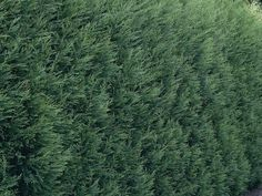 Leyland cypress  is a bright green conifer widely used for screens because it is fast growing. It also can be disease prone, especially when planted too close together.
