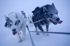 Sled Dogs at Station Nord in Greenland. What amazing creatures...    http://ngm.nationalgeographic.com/2012/01/sled-dogs/hoffmann-photography#/04-reserve-dogs-station-nord-670.jpg