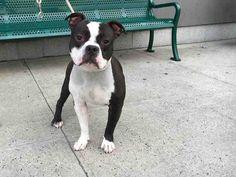 Brooklyn Center BOSTON – A1083887 MALE, BLACK / WHITE, STAFFORDSHIRE MIX, 2 yrs STRAY – STRAY WAIT, NO HOLD Reason STRAY Intake condition EXAM REQ Intake Date 08/02/2016, From NY 11221, DueOut Date08/05/2016,