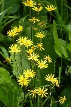 Packera aurea (formerly Senecio aureus), commonly known as golden ragwort or simply ragwort, is a perennial flower in the family Asteraceae. It is also known as golden groundsel, squaw weed, life root, golden Senecio, uncum, uncum root, waw weed, false valerian, cough weed, female regulator, cocash weed, ragweed, staggerwort, and St. James wort. It is native to eastern North America, from Labrador to MN and from NC to AR (with additional populations in the panhandle of FL.