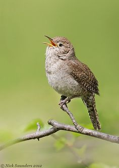 House Wren, noisy but fun to watch~