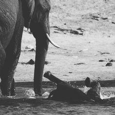 Baby elephant backstroke #chobegamelodge #thisischobe #canitakehimhome
