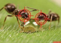 Выгнала муравьев с огорода за два часа Здравствуйте! Я хочу рассказать вам о том, как в прошлом году выгнала из своего участка муравьев. Причем ушли они от меня буквально за два часа. Сама была очень этим удивлена.     А сделала я вот что.…