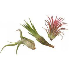 Tilandsia er en epifyttisk plante som i vill tilstand vokser på f.eks. tregrener og trenger derfor ikke å plantes i jord. Vannes med kalkfritt vann, enten gjennom å dusjes med sprayflaske et par ganger i uken eller ved å duppe den i vann omtrent 20 min annenhver uke. Det er svært viktig at planten rekker å tørke opp mellom vanningene.