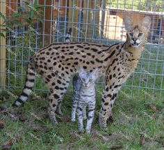 index - Savannah Cat - Ideas of Savannah Cat - index The post index appeared first on Cat Gig. Pretty Cats, Beautiful Cats, Animals Beautiful, Cute Animals, Serval Cats, Caracal, Le Savannah, Savanna Cat, Big House Cats