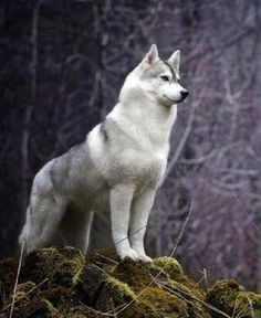 Looks like a malamute, husky, wolf hybrid. I want this dog so bad! - Looks like a malamute, husky, wolf hybrid. I want this dog so bad! Beautiful Wolves, Beautiful Dogs, Animals Beautiful, Beautiful Places, Animals And Pets, Funny Animals, Cute Animals, I Love Dogs, Cute Dogs