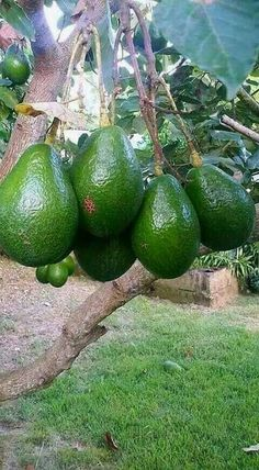 Das Verlockendste im Internet Avocado Grow DIY Bagg Fruit Plants, Fruit Garden, Fruit Trees, Trees To Plant, Planting Vegetables, Fruits And Vegetables, Grape Vineyard, Beautiful Fruits, Fruit Drinks