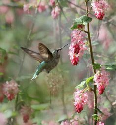Hummingbird and pink lilacs